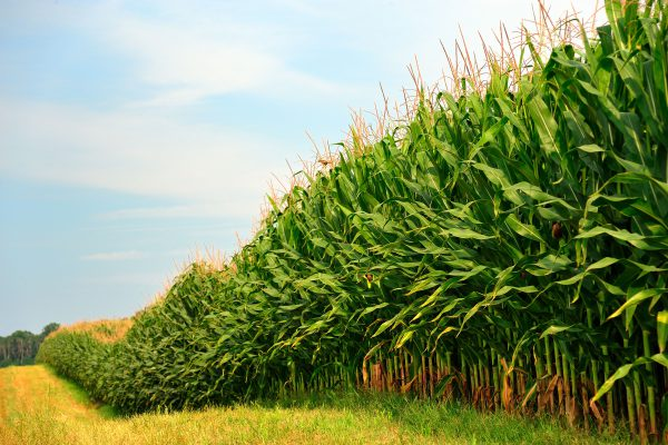 Minnesota Corn Growers Announce Support for the CSP