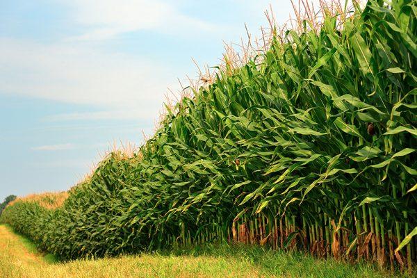 CSP featured in MN Corn Growers' eBook